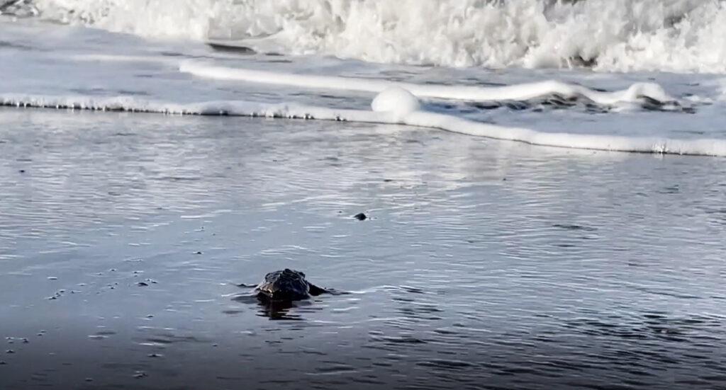 skölpaddor kläcks