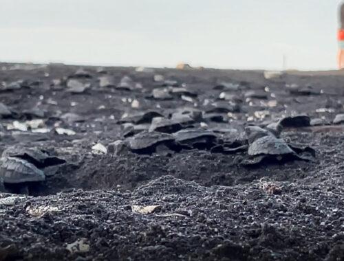 sköldpaddor kläcks